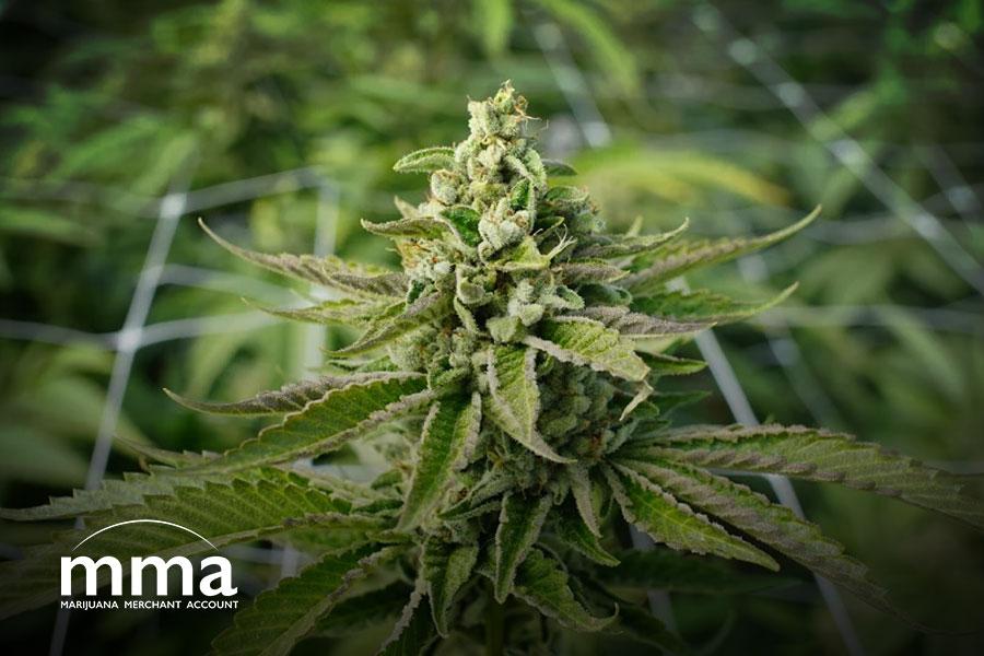 marijuana reform more act